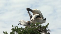 Woodstorks in nest feeding grown young. Stock Footage