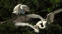 Three Great Egrets Stock Footage