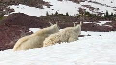 Mountain Goats (Oreamnos americanus) - stock footage