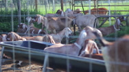 Stock Video Footage of Egyptian Goats behind fence