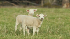 Two Cute Lambs in a Grassy Field Looking at the Camera Stock Footage