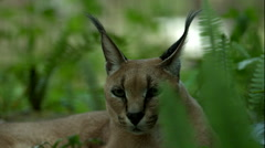 Caracal Cat Flipping Ears in Super Slow Motion Stock Footage