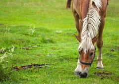 Stock Photo of horse grazing