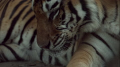 Tiger Licking Leg in Slow Motion Stock Footage
