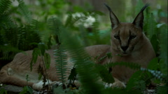 Caracal Laying Down 2 Stock Footage