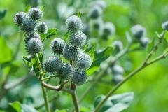 agrimony plant - stock photo