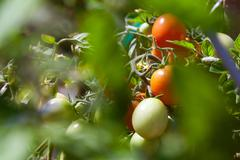 Stock Photo of tomatoes farm