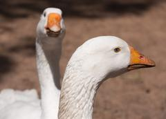 white gooses - stock photo