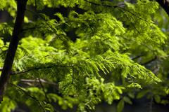 Bald Cypress Tree Greenery - stock photo
