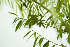 green willow foliage - stock photo