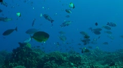 Coral reef with Snapper and Unicornfish Stock Footage