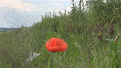 Single poppy flower in wild nature, nice red petals in windy weather, green land Stock Footage