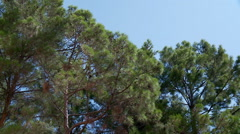 Tree tops of the pine forest. Stock Footage