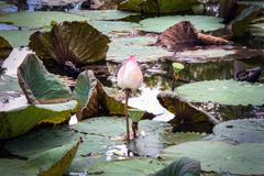 pink lotus on dark water in pond and reflex - stock photo