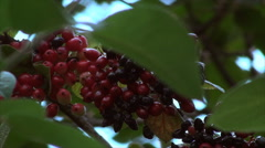 Wild Berries On A Branch Blown By The Wind, Botanical Garden, Summer, Green, Red Stock Footage