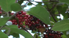 Wild Berries On A Branch Blown By The Wind, Botanical Garden, Summer, Zoom Out Stock Footage