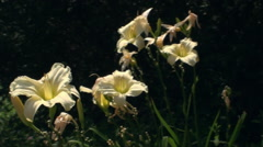 Scorched Lilies In The Summer Heat, Botanical Garden, Nature, Sun, Pan - stock footage