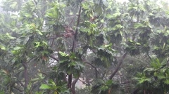Stock Video Footage of Tropical downpour. Trees and pouring rain