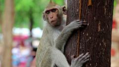 Monkey sitting on a tree, Rhesus macaque Stock Footage