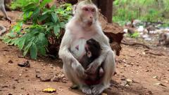 Monkey with a cub sits on the ground and eats fruit, Rhesus macaque Stock Footage