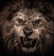 Close-up shot of roaring lion Kuvituskuvat