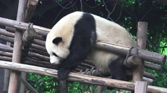 Lazy Panda Bear Rest On Top Of Wood Structure 4K Stock Footage