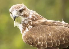 Closeup of a falcon Stock Photos
