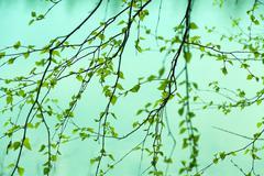 birch branches pattern - stock photo