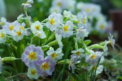 primroses dew close up - stock photo