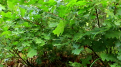 Detail of Forest, with young oak trees (Quercus petraea) Stock Footage
