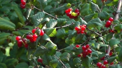 Red Honeysuckle Berries in autumn evening Stock Footage