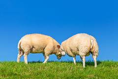 two playing dutch sheep on a dyke - stock photo