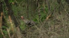 Turkeys looking around the Woods Stock Footage