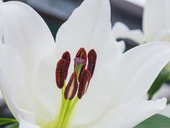Stigma and anthers of a white lily Stock Photos
