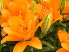 Close-up of orange lilies - stock photo