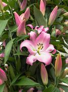 Close-up of pink lilies Stock Photos