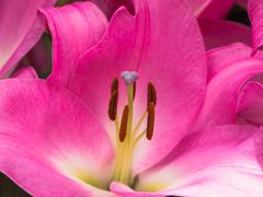 Petals, stigma and anthers of a pink lily Stock Photos