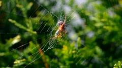 Close up of feeding Spider on a web Stock Footage