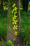 creeper leaves under the sun - stock photo