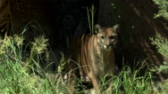 Stock Video Footage of Mountain Lion Hunts Prey