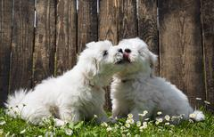 Big love: two baby dogs - coton de tulear puppies - kissing. Stock Photos
