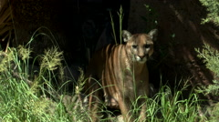 Mountain Lion Spots Distant Movement - stock footage