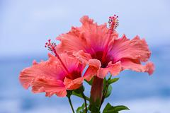 Peach and pink colored hibiscus flowers Stock Photos