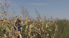 Woman farmer in cornfield checking harvest crop, agriculture for healthy food Stock Footage