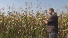 Corn crop harvest time, autumn season for gathering cereals, natural agriculture Stock Footage