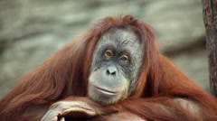 A calm and peaceful orangutan female is sitting on shaky platform Stock Footage
