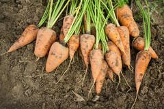 Dug carrots lying on the arable land Stock Photos