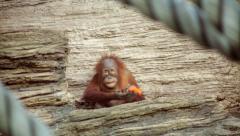 An orange monkey kid is peeling an orange carrot with his teeth Stock Footage