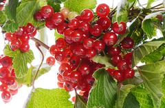 The red currant close up Stock Photos