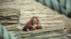 An orangutan male takes a carrot away from his funny son Stock Footage